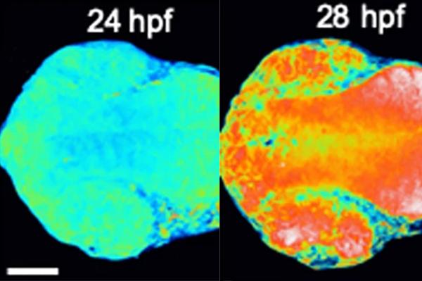 H2O2 and Engrailed 2 paracrine activity synergize to shape the zebrafish optic tectum